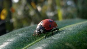 Vittel - Biodiversité (Ladybird)